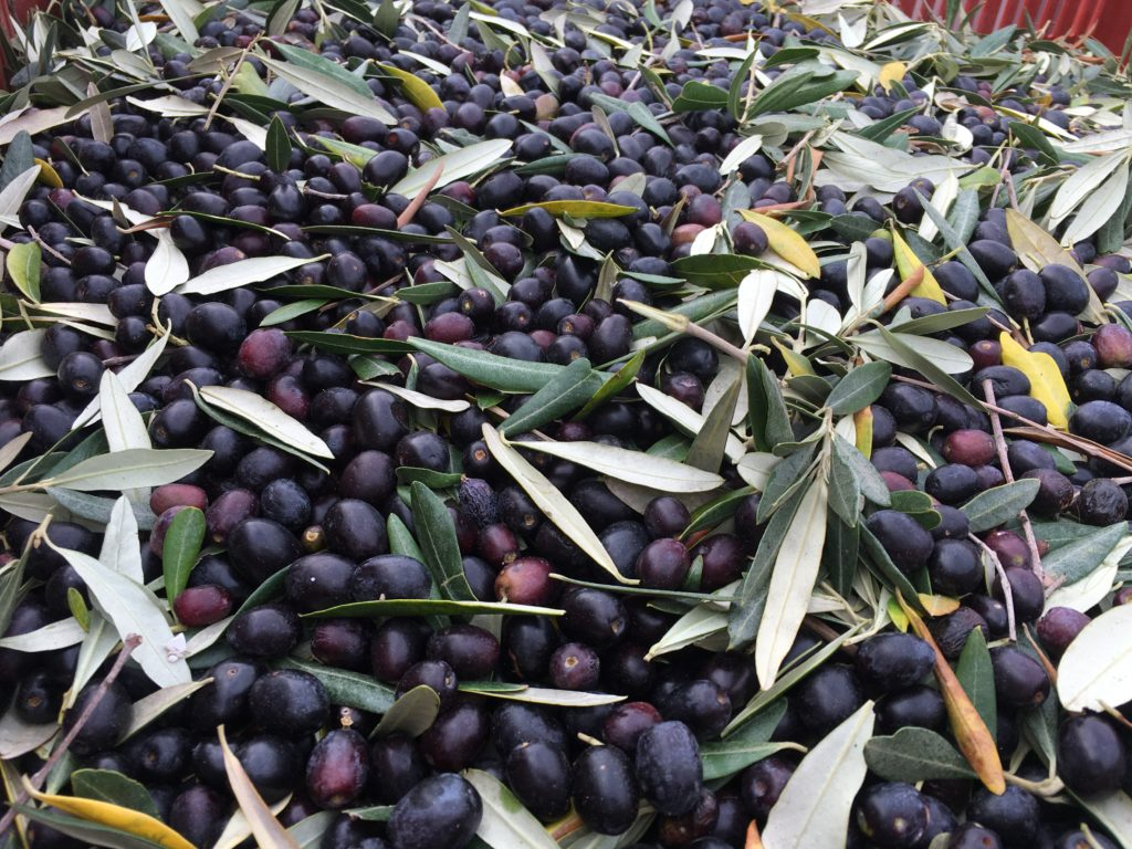 Valoriser les olives en huile d'olive