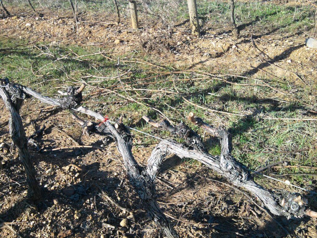 Atelier de taille fruitière sur la vigne